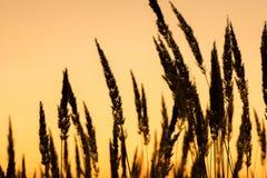 Il tramonto e la bella siluetta di alta erba inclinano immagine stock