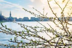 Il tramonto ha sparato dell'albero fiorente nel lago del alster a Amburgo Immagine Stock Libera da Diritti