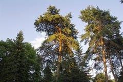 Il tramonto illumina le cime delle conifere Fotografie Stock Libere da Diritti