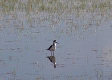 Il trampolo & il x28 nero-con il collo; Mexicanus& x29 del Himantopus; Uccello acquatico del lago bear Immagine Stock Libera da Diritti