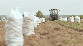 Il trattore ara e scava fuori il carft I sacchi pieni bianchi delle patate stanno stando nel campo Raccogliendo le patate dentro archivi video