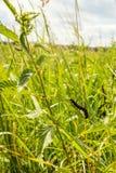 Il trattore a cingoli nero mangia l'ortica verde Fotografia Stock