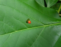 Il trattore a cingoli rosso che mangia una foglia verde dell'albero fino al foro masticato compare Fotografia Stock Libera da Diritti