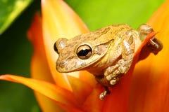 Il treefrog cubano si è appollaiato su un bromeliad Immagine Stock Libera da Diritti