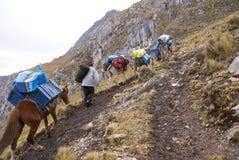 Il treno del mulo, trasportante carica in alte montagne Immagini Stock