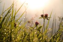 Il trifoglio fiorisce di mattina Fotografie Stock Libere da Diritti