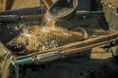 Il trofeo, successo, grande pesce di risultato in acqua ha versato dalla ciotola, bloccaggio Fotografie Stock Libere da Diritti