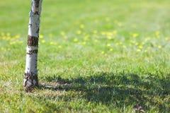 Il tronco dell'albero di betulla con giallo verde vago del fondo fiorisce fotografie stock libere da diritti