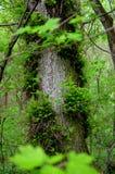 Il tronco dell'albero in foglie verdi Immagine Stock