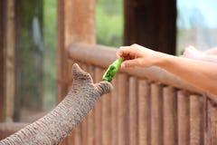 Il tronco dell'elefante. Fotografia Stock Libera da Diritti