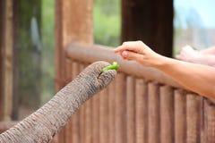 Il tronco dell'elefante. Immagine Stock