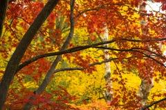 Il tronco di albero spesso della corteccia scura si ramifica foglie stagionali di colore di caduta fotografie stock