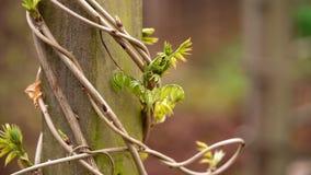 Il tronco di glicine con le giovani foglie ha avvolto il palo di legno in giardino immagini stock