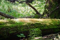 Il tronco di un albero caduto coperto di muschio alla luce solare luminosa Fotografie Stock Libere da Diritti