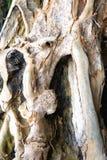 Il tronco di un albero tropicale enorme Isola di Palawan Immagini Stock Libere da Diritti