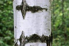 Il tronco di una betulla fotografia stock libera da diritti