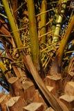 Il tronco di una palma in primo piano Crète Fotografia Stock Libera da Diritti