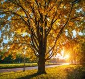 Il tronco e la corona di grande quercia di autunno con le foglie rosse immagine stock libera da diritti