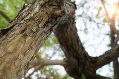 Il tronco piegato del larice siberiano, il punto pi? basso di fucilazione Forti crepe sulla corteccia di un albero Fondo con curv immagini stock libere da diritti