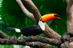 Il tucano si siede su un ramo Fotografie Stock Libere da Diritti