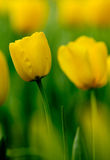 Il tulipano Immagini Stock Libere da Diritti