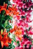 Il tulipano dell'Olanda fiorisce il parco fotografie stock