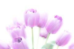 Il tulipano fiorisce l'alto colore astratto e morbido chiave Immagine Stock Libera da Diritti