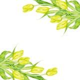 Il tulipano fiorisce la cartolina d'auguri della struttura Illustrazione della decorazione dell'acquerello della primavera Fotografia Stock
