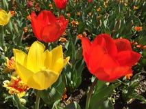Il tulipano nel floriade 2015 Fotografia Stock