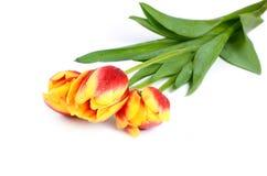 Il tulipano rosso-giallo con le gocce di acqua sui precedenti bianchi immagini stock