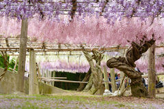 Il tunnel di glicine, il mondo fantastico in pieno delle glicine fiorisce fotografie stock libere da diritti