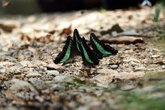 Il turchese traversa la farfalla volando Fotografia Stock Libera da Diritti