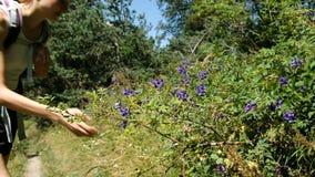 Il turista della donna con uno zaino viene al cespuglio e fiuta i fiori Una ragazza gode del profumo di un albero di fioritura video d archivio