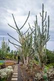 Il turista della donna sta stando vicino al cactus gigante al giardino botanico a Funchal, Madera Immagini Stock Libere da Diritti