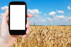 Il turista fotografa il giacimento di grano sotto cielo blu Fotografia Stock