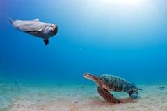 Il underwater del delfino incontra una tartaruga fotografia stock libera da diritti