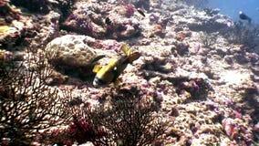 Il underwater del pesce pappagallo mangia il corallo su fondale marino in Maldive stock footage