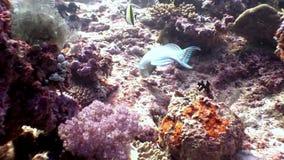 Il underwater del pesce pappagallo mangia il corallo su fondale marino in Maldive archivi video