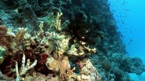 Il Underwater si rilassa il video circa il giglio di mare Oligometra Serripinna di Shaab Sharm video d archivio