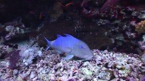 Il Underwater si rilassa il video circa il pesce in barriera corallina in trasparente puro del Mar Rosso stock footage