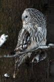 Il uralensis dello strige del gufo di Ural si siede sul ramo con la preda fotografie stock