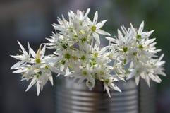 Il ursinum dell'allium sopporta l'aglio in fioritura Fotografia Stock