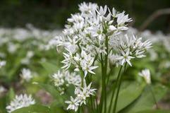 Il ursinum dell'allium sopporta l'aglio in fioritura Immagine Stock Libera da Diritti