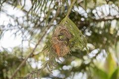 Il Usambara raro, minacciato, & endemico Doppio ha messo un colletto Sunbird fotografia stock libera da diritti