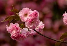 Sakura romantico Fotografia Stock