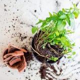 Il vaso di fiore rotto dell'argilla con le piante verdi sopra woden il fondo d Fotografia Stock Libera da Diritti