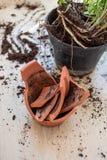Il vaso di fiore rotto dell'argilla con le piante verdi sopra woden il pavimento danni Fotografia Stock Libera da Diritti