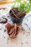 Il vaso di fiore rotto dell'argilla con le piante verdi sopra woden il pavimento danni Fotografie Stock Libere da Diritti