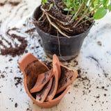 Il vaso di fiore rotto dell'argilla con le piante verdi sopra woden il pavimento danni Immagine Stock