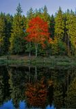 Il vasto acero dell'albero della foglia probabilmente ha riflesso sulla superficie dell'acqua all'autunno/alla luce del giorno di fotografia stock libera da diritti